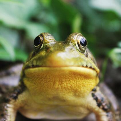 une grenouille, entre nature et animaux à Bordeaux